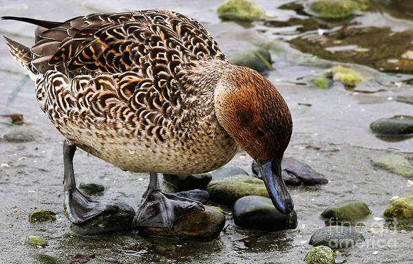 Painting - Mallard Duck On Stoney Shore by Sue Harper