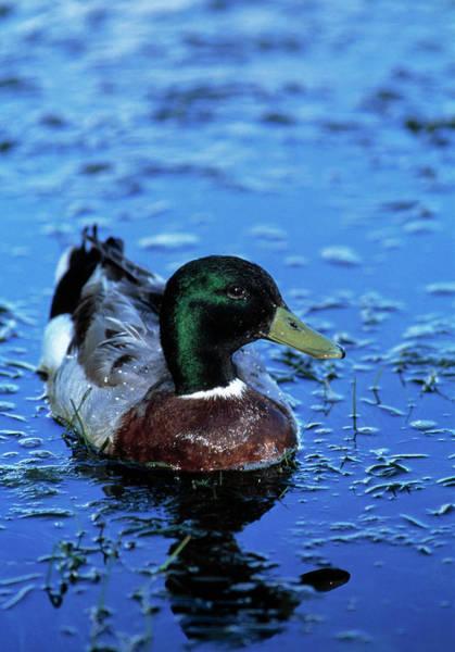 Wall Art - Photograph - Mallard Duck by Tony Camacho/science Photo Library