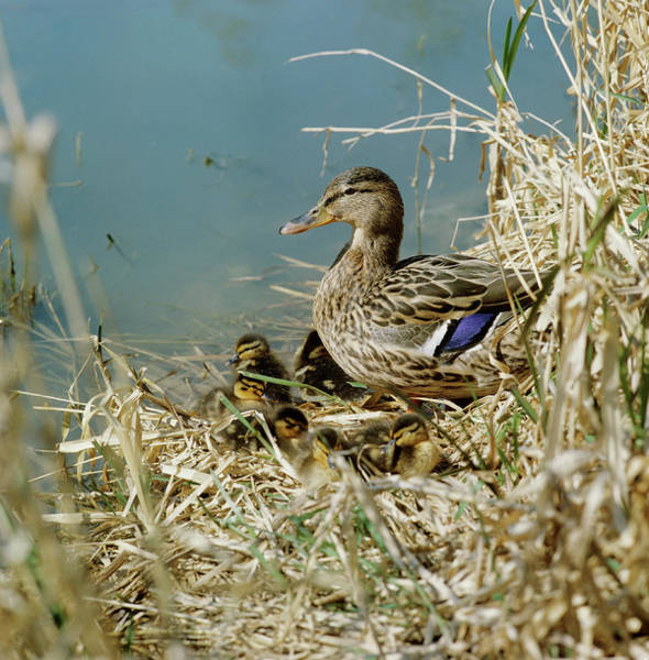 Anas Platyrhynchos Photograph - Mallard Duck With Young by Anthony Cooper/science Photo Library