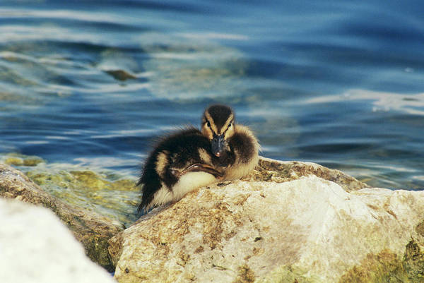 Anas Platyrhynchos Photograph - Mallard Duckling by Sally Mccrae Kuyper/science Photo Library