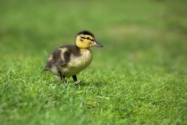 Anas Platyrhynchos Photograph - Mallard Duckling by Simon Booth/science Photo Library