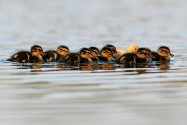Anas Platyrhynchos Photograph - Mallard Ducklings by Dr P. Marazzi/science Photo Library