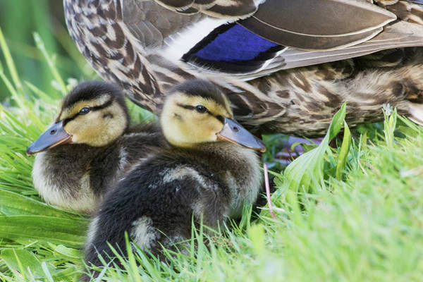 Anas Platyrhynchos Photograph - Mallard Ducklings by Ken Archer