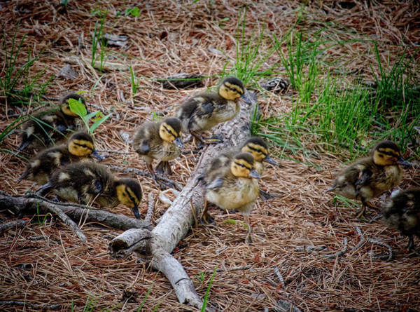 Photograph - Mallard Ducklings On The Move by Beth Sawickie