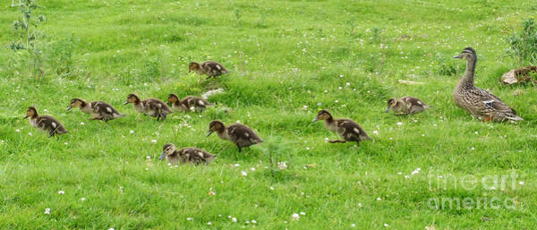 Photograph - The Ducklings Parade by Phil Banks
