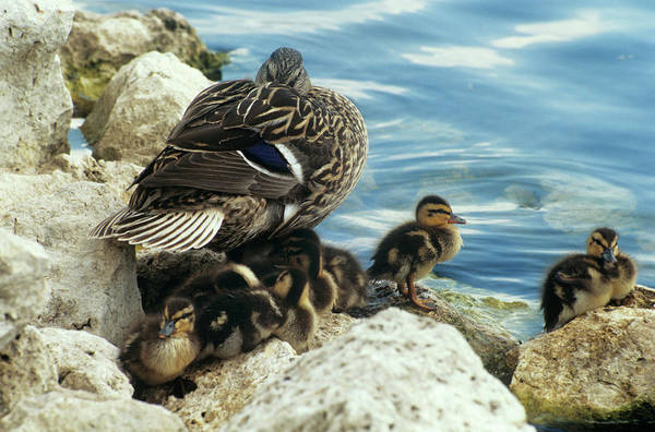 Anas Platyrhynchos Photograph - Mallard Ducklings by Sally Mccrae Kuyper/science Photo Library