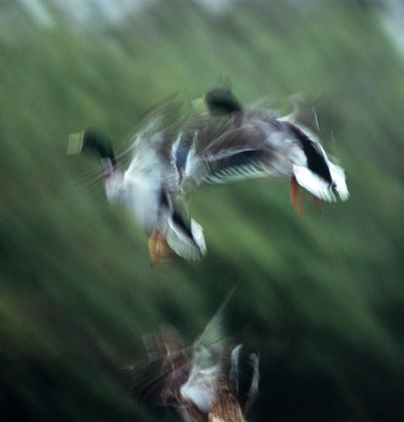 Anas Platyrhynchos Photograph - Mallard Ducks by Duncan Shaw/science Photo Library