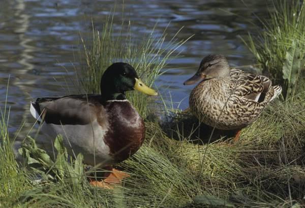 Photograph - Mallard Duck Pair by Don Kreuter
