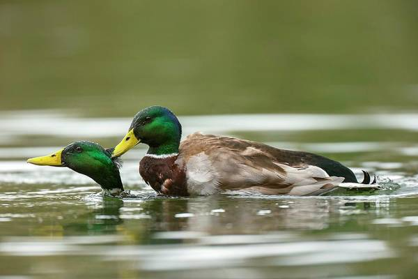 Anas Platyrhynchos Photograph - Mallard Ducks Same-sex Sexual Behaviour by Simon Booth/science Photo Library