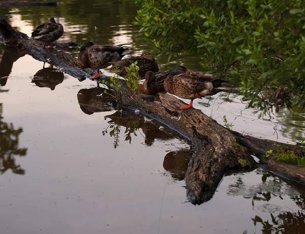 Photograph - Mallard Ducks Sleeping On A Log by Chris Flees