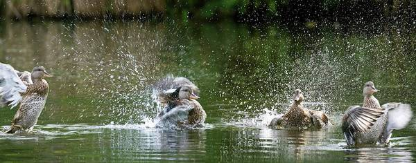 Anas Platyrhynchos Photograph - Mallard Ducks by Steve Allen/science Photo Library