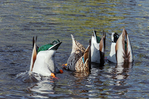Anas Platyrhynchos Photograph - Mallard Ducks Upending And Feeding by Simon Booth