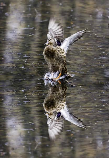 Photograph - Mallard Hen Landing by Jim Dollar