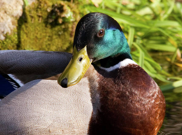 Anas Platyrhynchos Photograph - Mallard by John Devries/science Photo Library