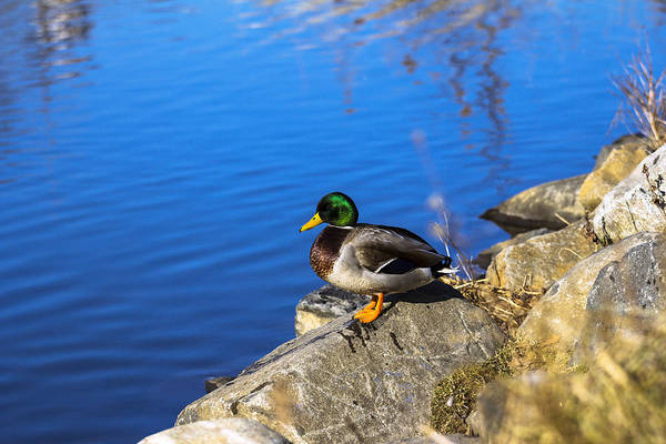 Photograph - Mallard Looking Over His Domain by Jorge Perez - BlueBeardImagery