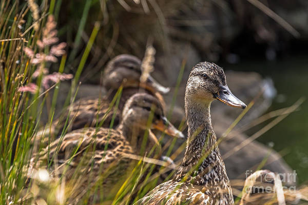 Photograph - Mallard Mama by Kate Brown