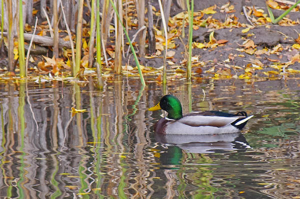 Greenhead Photograph - Mallard Reflection by Mike and Sharon Mathews