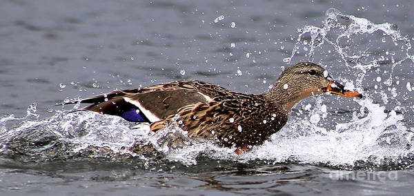 Photograph - Mallard Water Skiing by Sue Harper