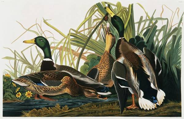 Wall Art - Photograph - Mallards by Natural History Museum, London/science Photo Library