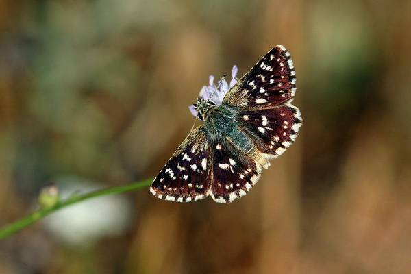 Skipper Photograph - Mallow Skipper Butterfly by Photostock-israel/science Photo Library