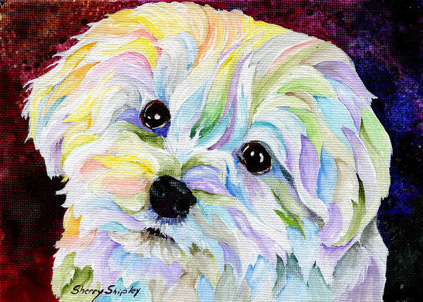Painting - Maltese by Sherry Shipley