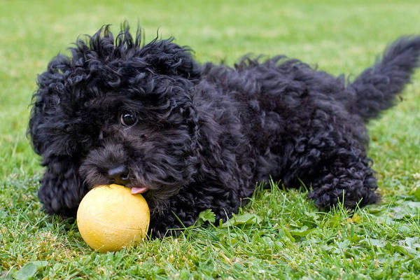 Maltipoo Wall Art - Photograph - Maltipoo Puppy Playing With A Ball by Michael Russell