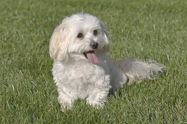 Photograph - Maltipoo Puppy Sitting In The Grass by Jim Vallee