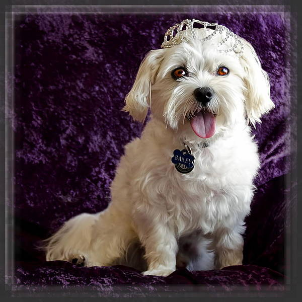 Maltipoo Wall Art - Photograph - Maltipoo Wearing A Crown Or Tiara by Harold Bonacquist