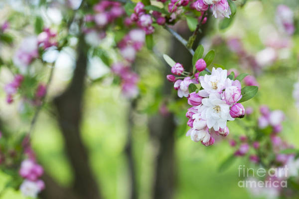 Crab Photograph - Malus Snowcloud Blossom by Tim Gainey