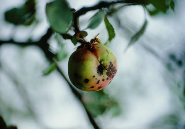 Malus Photograph - Malus Sylverstris. by G Newport/science Photo Library