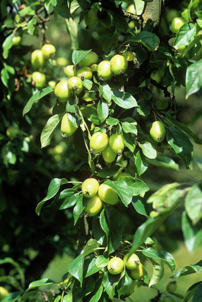 Malus Photograph - Malus X Robusta 'yellow Siberian' by Adrian Thomas/science Photo Library