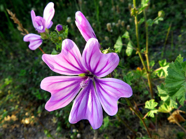 Petal Photograph - Malva Flower With Lilac Petals by Aristea Apostolidou / Eyeem