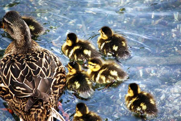 Chicken Feet Photograph - Mama And Babies by Jeff Tuten