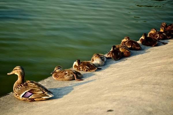 Photograph - Mama And Her Ducklings by Ricardo J Ruiz de Porras