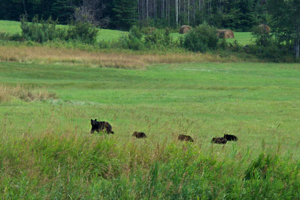 Photograph - Mama Bear And 4 Cubs by Mary Lee Dereske