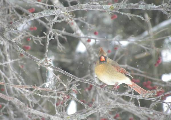 Photograph - Mama Cardinal by Peggy  McDonald