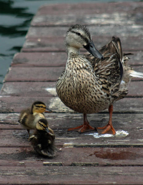 Photograph - Mama Duck And Ducklings by Pamela Walton