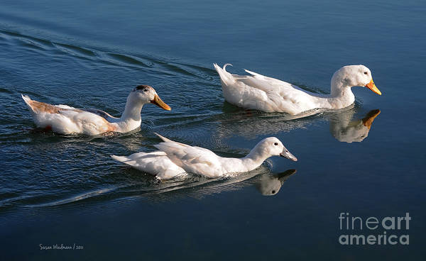 Photograph - Mama Duck Leads The Way by Susan Wiedmann