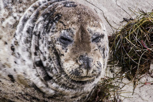 Digital Art - Mama Harbor Seal by Photographic Art by Russel Ray Photos