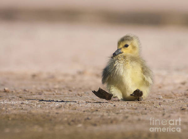 Wall Art - Photograph - Mama I Fell Down Gosling by Ruth Jolly