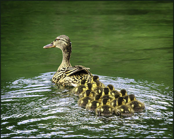 Duck Meat Photograph - Mamas Peeps Are Not In A Row by LeeAnn McLaneGoetz McLaneGoetzStudioLLCcom