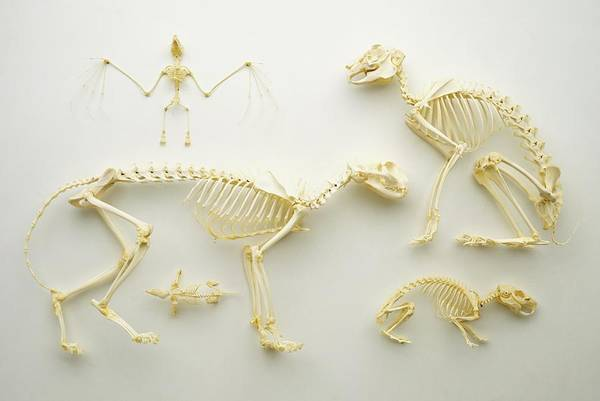 Comparative Wall Art - Photograph - Mammal Skeletons by Dorling Kindersley/uig