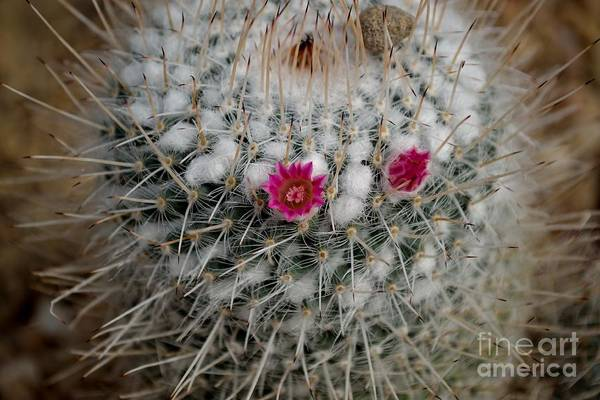 Art Print featuring the photograph Mammillaria Geminispina by Scott Lyons