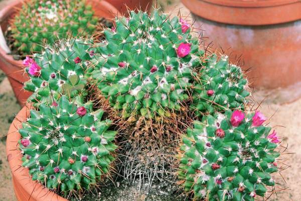 Clay Pot Photograph - Mammillaria Magnimamma by Brian Gadsby/science Photo Library