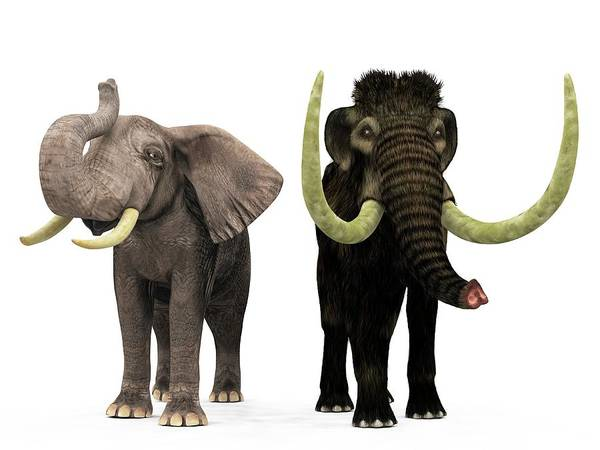 African Elephant Photograph - Mammoth And Elephant Compared by Walter Myers