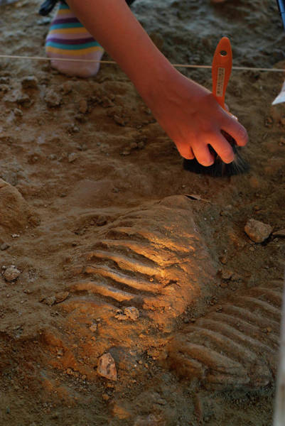 Wall Art - Photograph - Mammoth Fossil Footprint Excavation by Marco Ansaloni / Science Photo Library