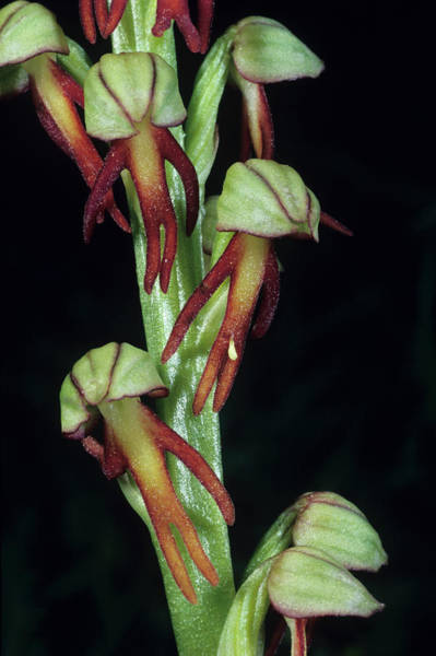Wall Art - Photograph - Man Orchid Flowers by Paul Harcourt Davies/science Photo Library