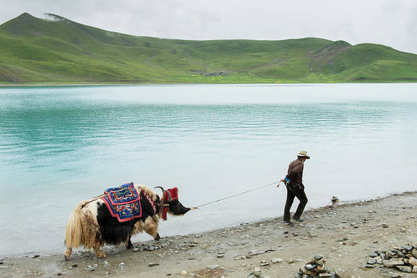 Pulling Photograph - Man Pulling Decorated Yak Along Waters by Keith Levit / Design Pics