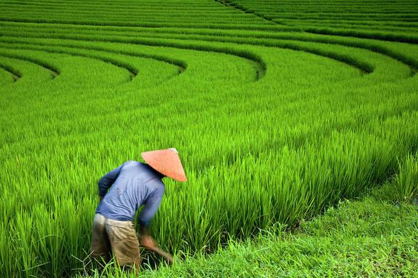 Working Photograph - Man Working In Rice Fields Near Pupuan by Dennis Walton