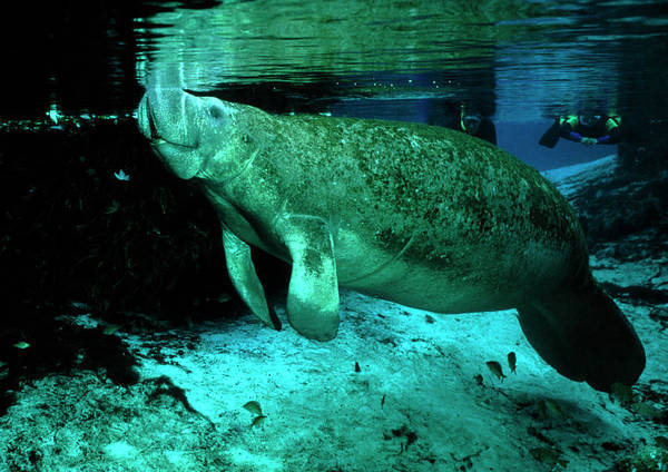 Manatee Photograph - Manatee At Surface by Rudiger Lehnen/science Photo Library